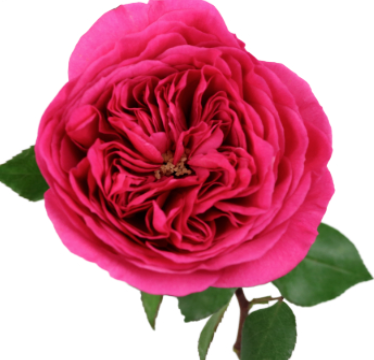 Princess Pink Garden Rose