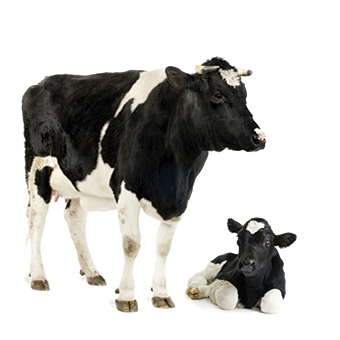 Dairy Cattle Finance