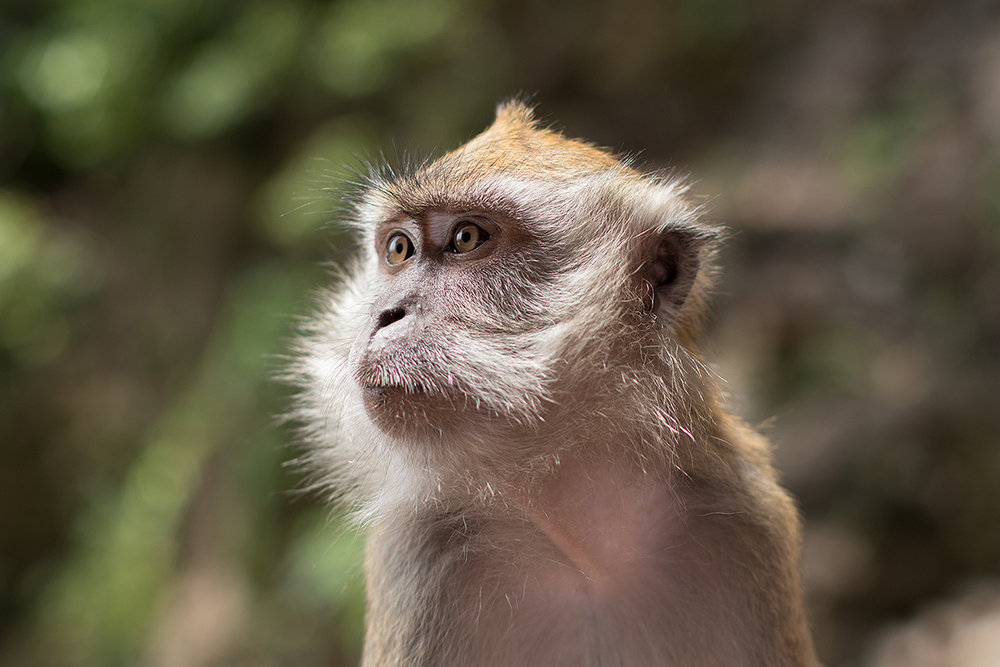 Macaque - Batu Caves - Kuala Lumpur, Malaysia