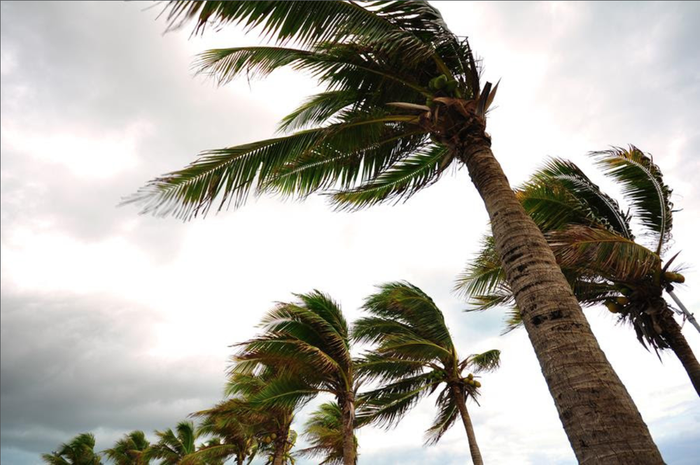 palm trees in wind disaster relief.png