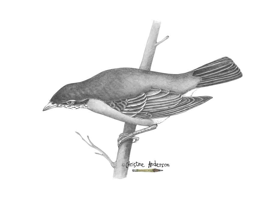 Mats-graphite-black-bird.jpg