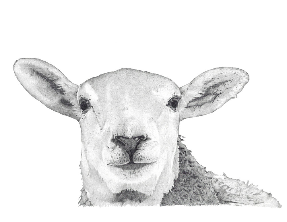 CA Sheep head graphite FINAL.jpg
