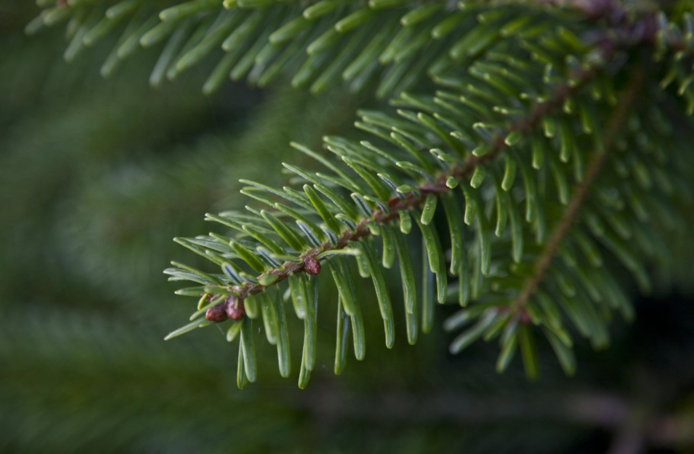 nordmann_fir_needles_19.jpg