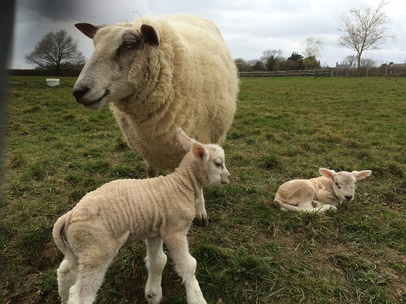 Spring sheep resized.jpg