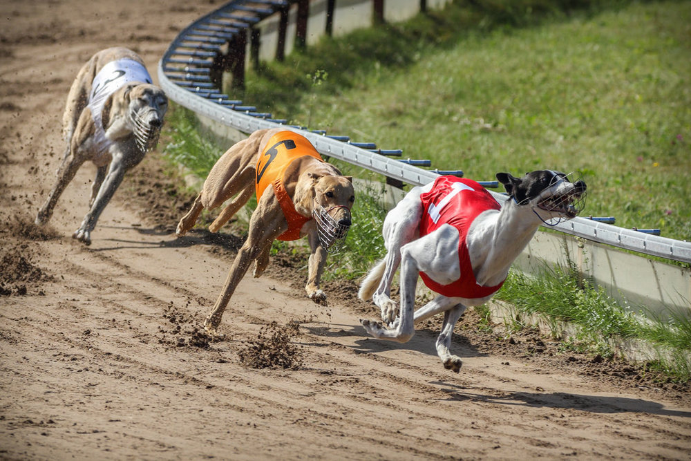 Dog races.jpg
