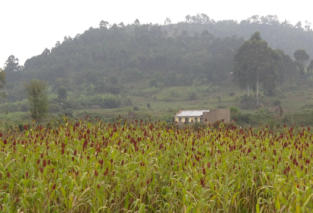 Hills_and_Cornfield_-_Outside_Kisoro_-_Southwestern_Uganda.jpg