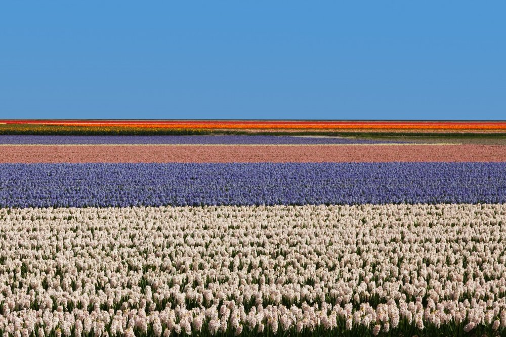 agriculture_background_colorful_colors_dutch_field_fields_floral-1257877.jpg