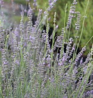 ('Provence' lavender)