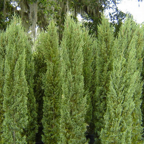 'Tiny Tower' Italian cypress - A unique, compact form with exceptionally dense blue-green foliage. Maintains its narrow, columnar form and tidy, well-groomed appearance without pruning. Excellent for formal plantings or to provide structure at the back of the border. Makes a wonderful topiary or container specimen. Evergreen. Low water.