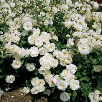 'Iceberg' rose - Easily one of the most recognized of roses, revered by gardeners for its profusion of bright white summer-long, free-flowering blooms and vigorous growth. A very easy care variety that is nearly thornless and extremely disease resistant. Moderate water.
