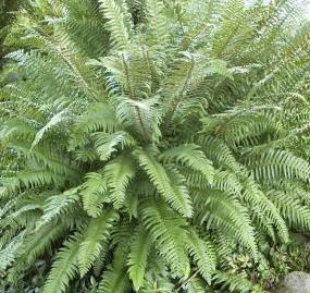 Western sword fern