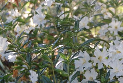 (White monkey flower)