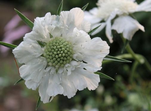 White pincushion flower