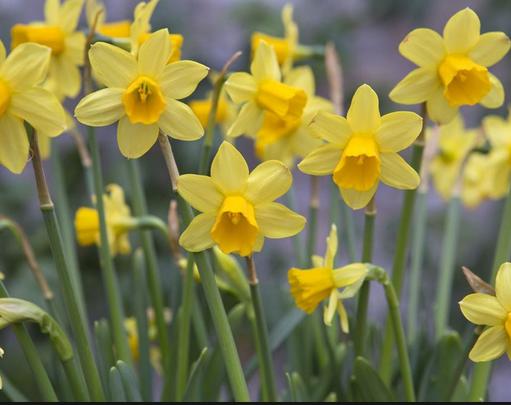 ('Tete-a-Tete' daffodils)