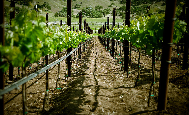 Santa Ynez vineyard (credit: cielodlp, Flickr)