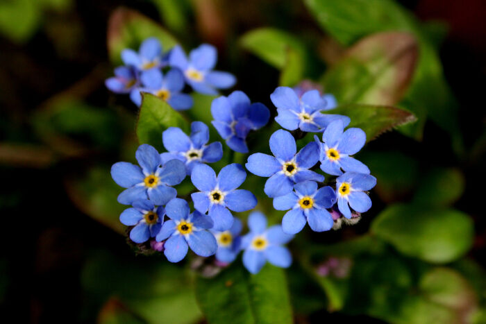 Forget-Me-Not-Meaning.jpg