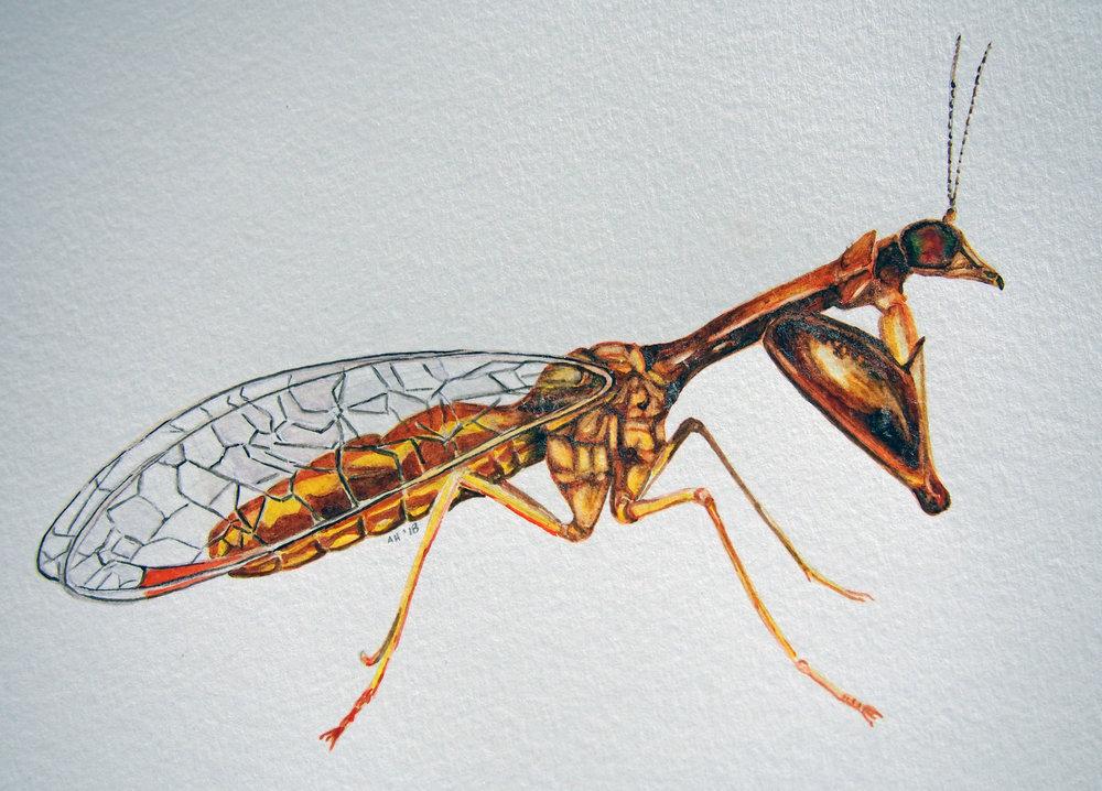 mantisfly.jpg