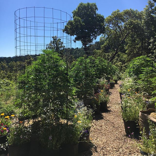 We had a great visit this week at @alpenglowfarms707! It's amazing to see what our community is doing in terms of land stewardship. Alpen Glow practices organic, biodiverse, poly culture growing practices and literally finds a re-use for everything, from stalks to plastic tarps. #humboldt #humboldtcounty #cannabis #polyculture #sustainability #cannabiscommunity #california #labtested #companionplanting