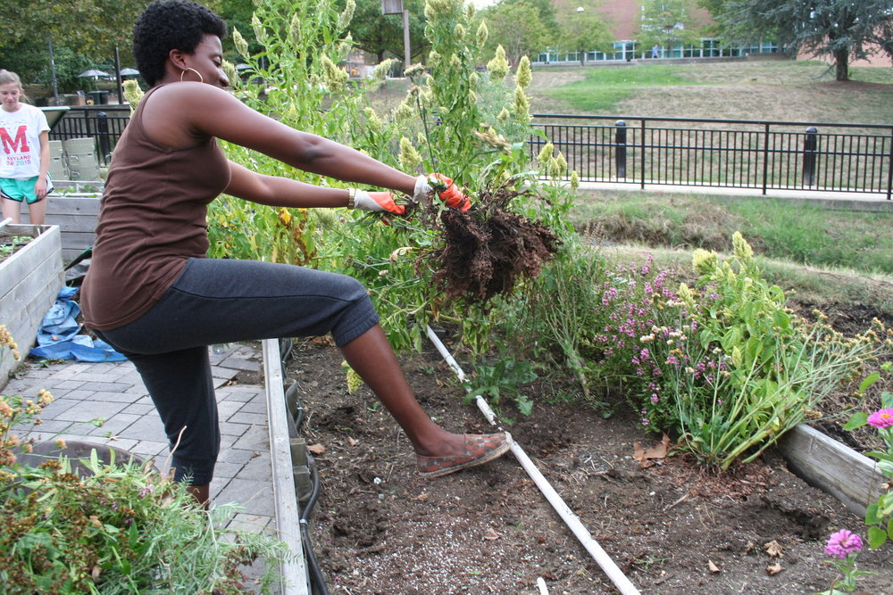 Asamaniwa Padi-Adjirackor works to clear out the flower bed on Sept. 28, 2015 so volunteers can replace it with fall plants and produce. Padi-Adjirackor has been a member of the club for one week. She said her goal is to one day be a farmer.