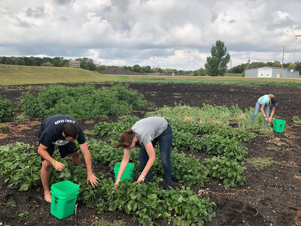 Volunteers glean crops during an event at Bjørn Solberg's farm in Halstad, Minnesota