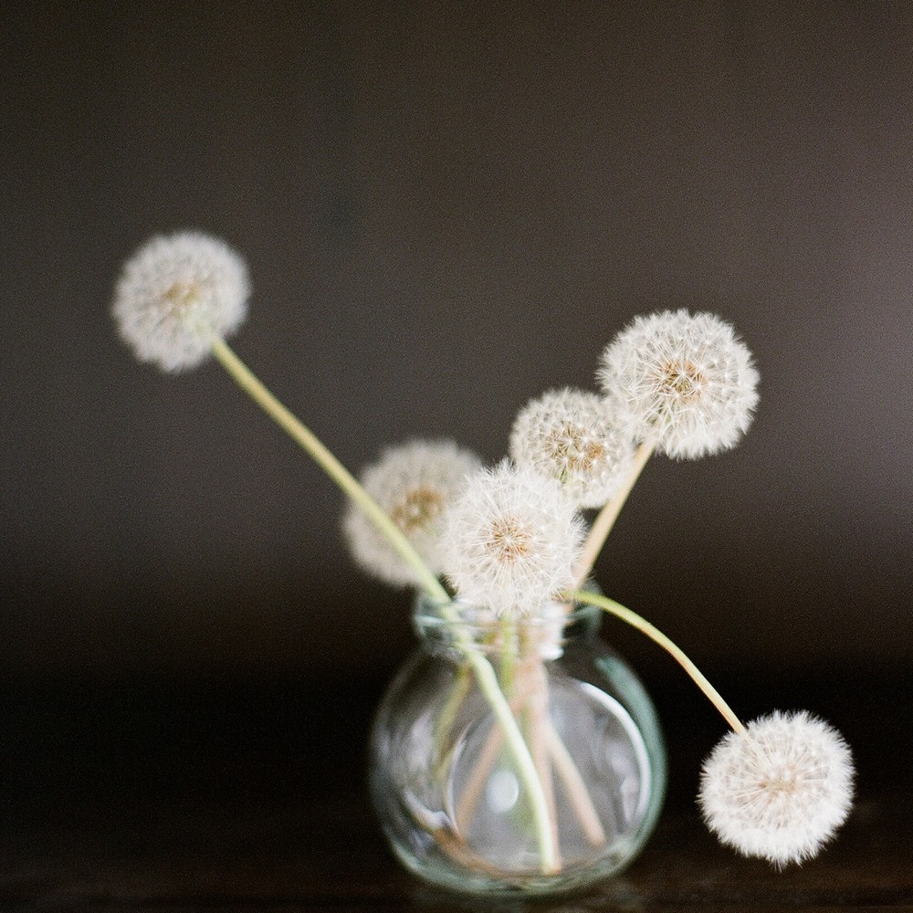 Sandra Coan, Dandelions on Film, Little Bellows