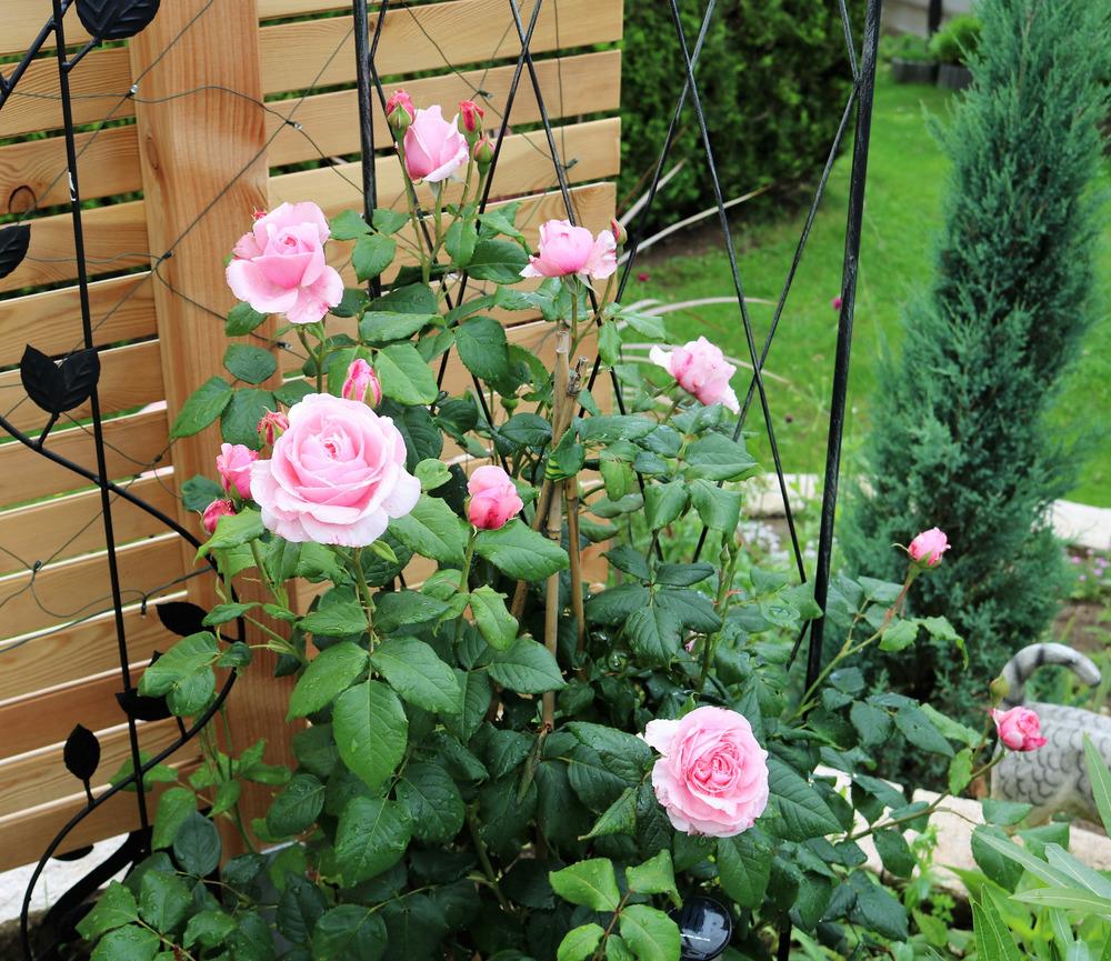 Die Gartenbesitzerin liebt englische Rosen.