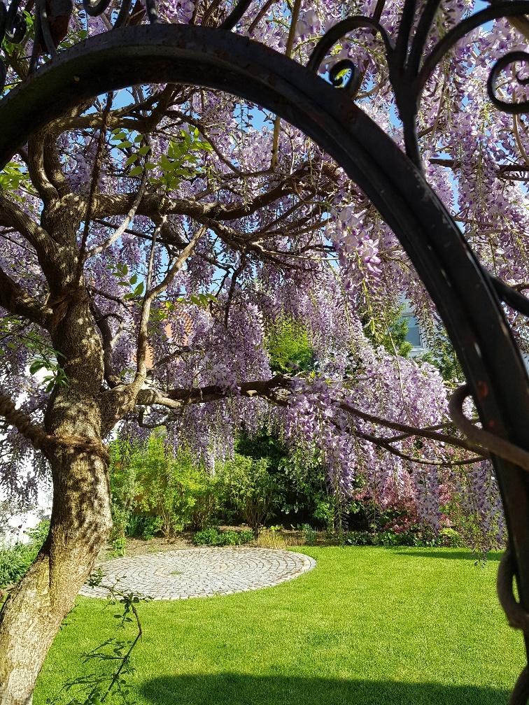 Im Schaugarten von Achhammer Gärten GmbH steht der Blauregen gerade in seiner vollen Pracht! Bienen weiden sich und der feine Duft weht durch den Garten.