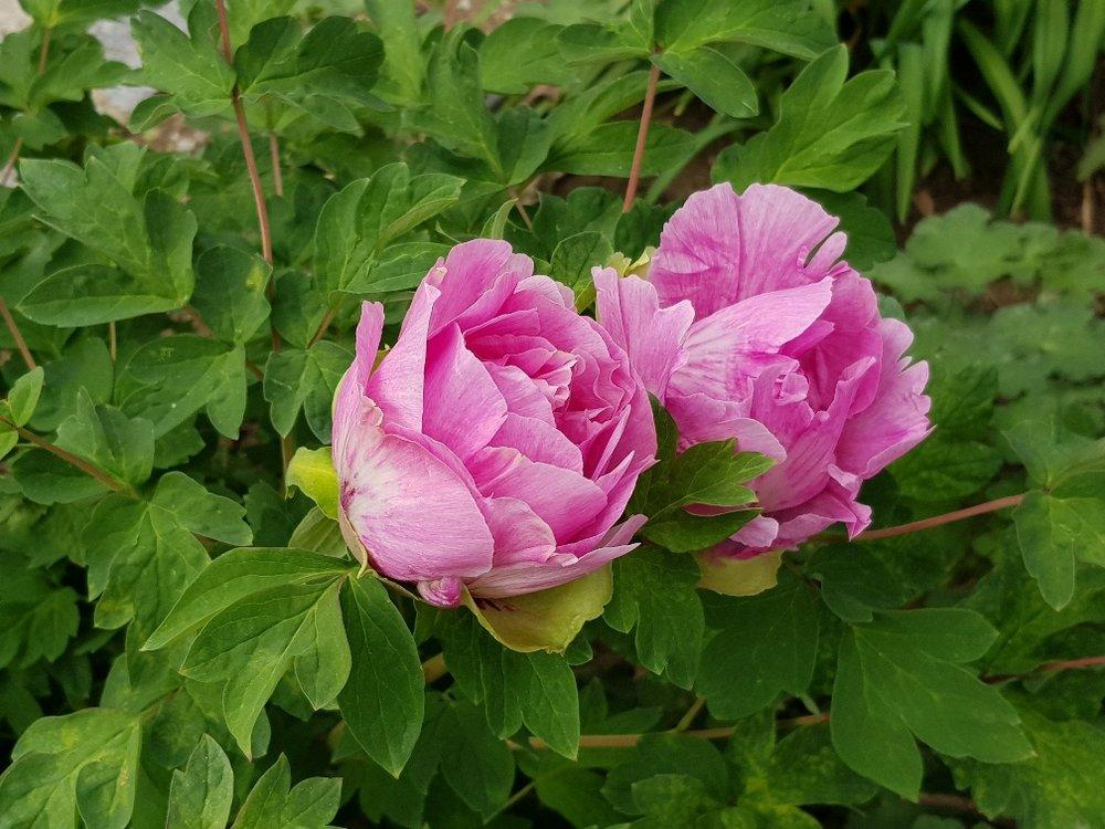 Zwei Blüten einer Baum-Päonie.