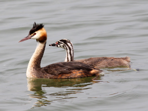 Great_Crested_Grebe_(Podiceps_cristatus)_(14).png