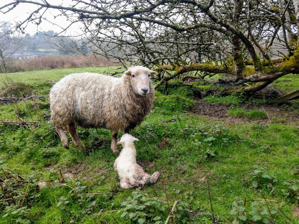 This is our first lamb of the year  - born just a few days ago and only minutes old in this photo