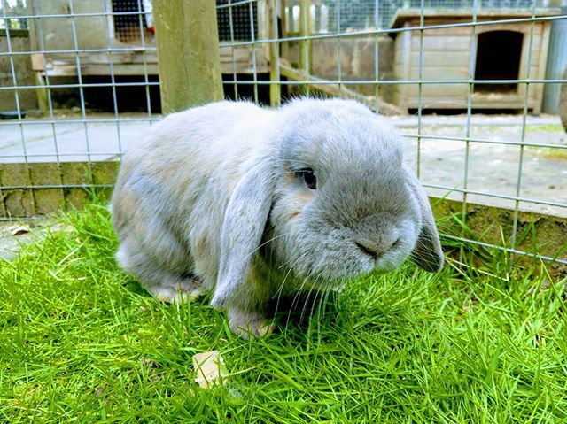 Meet our new bunny, Dusty! He has got his own private accommodation next to Honey and Poppy for a few weeks before hopefully joining them permanently. He's a very friendly miniature lop.  https://www.knowle-farm.co.uk #knowlefarm #devon #selfcatering #southdevon #holidaycottages #childfriendly #babyfriendly #toddlerfriendly #familyfriendly #cottages #familyholiday #farm #holiday #cute #rabbit