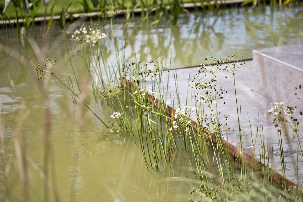 siebers-tuinprojecten-parktuin-erp-butomus-waterplanten-leemvijver.jpg