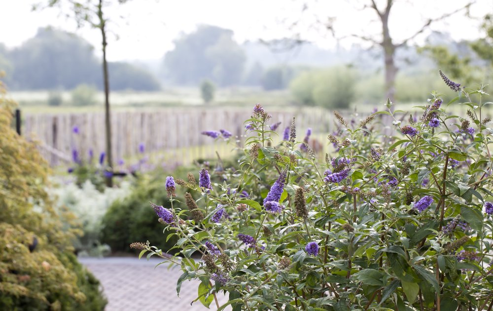 siebers-tuinprojecten-weelderig-landleven-buddleja.jpg