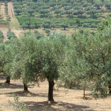 Tre Olive Adopt 2.jpg