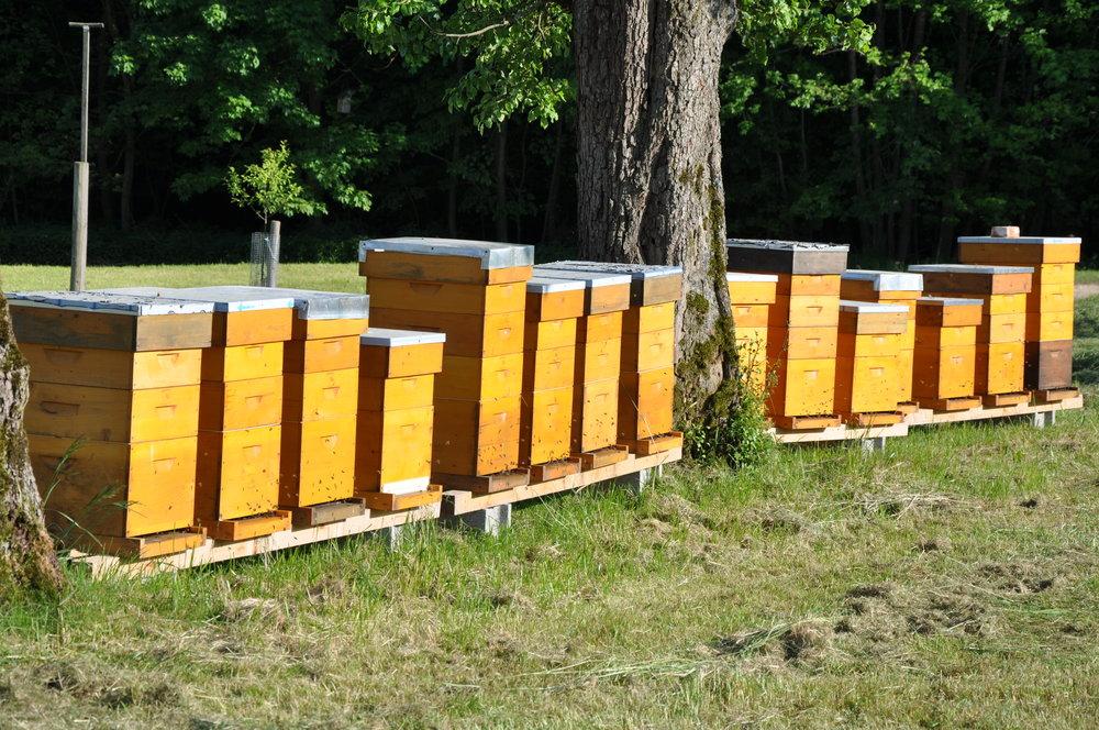 - Heuer (2017) durften wir uns über einen ganz besonderen Besuch zur Apfelblüte freuen. Elisabeth und Ulrich Lanzer stellten auf unseren Streuobstweisen 16 Luftland Bienenstöcke auf und die Bienen erfreuten unsere Apfelbäume und Blumenwiesen mit Ihren Besuch. Die Bienen waren fleißig und sammelten qualitativ hochwertigen, wasserarmen, biologischen Blütenhonig - perfekt für unseren ersten Apfelessig mit Blütenhonig. Ein köstlicher Essig der das Salatmarinieren sehr einfach macht.