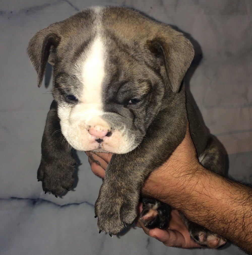 Simba Blue Male $2200 6 Wks