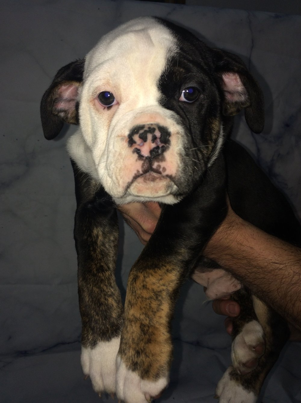 Mufasa Black with White Face Male $1200 8 Wks