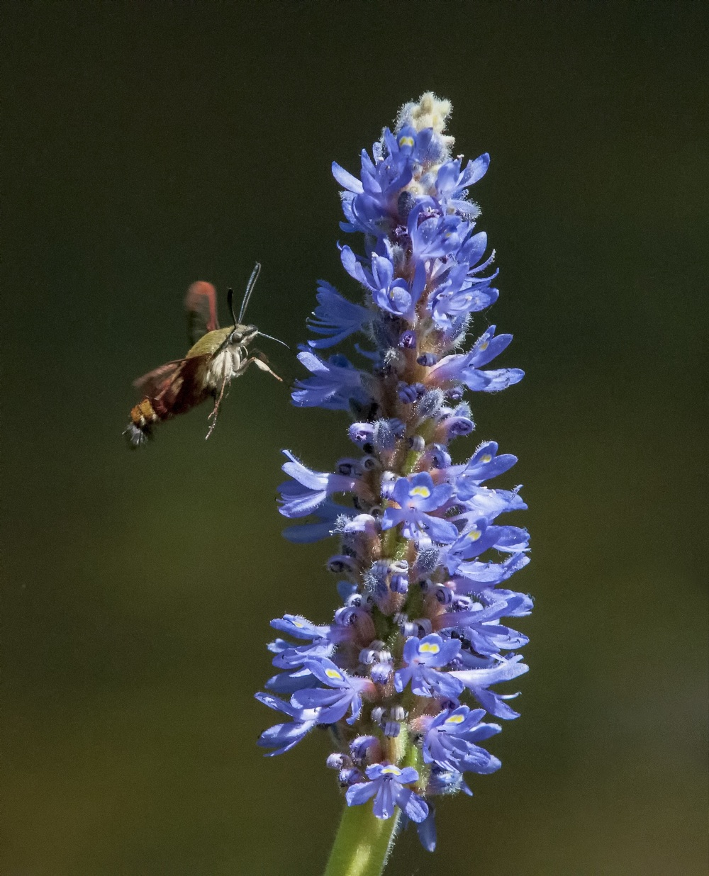 Clearwing moth and Pickerelweed