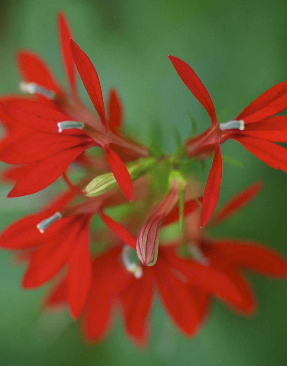 Cardinal Flower