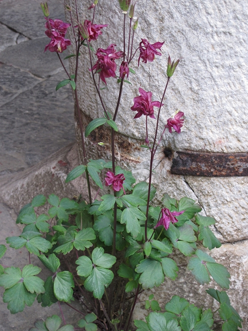 Delicate and strong, royal purple columbine grow between the rocks.  Rila Monastery, Bulgaria.   © Evelyn Weliver