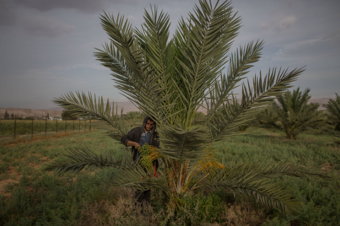 A Palestinian worker in a date grove that is watered by a pump, powered by solar panels, in the West Bank town of Auja. The solar project was financed by Build Israel Palestine, a group involving both Muslims and Jews in the United States.