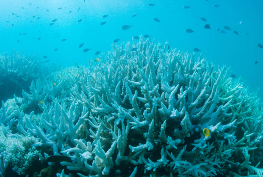 A photograph taken March 6 just off Cairns on the Great Barrier Reef shows a coral reef suffering from bleaching. The Great Barrier Reef is experiencing a second straight year of mass coral bleaching, scientists said.