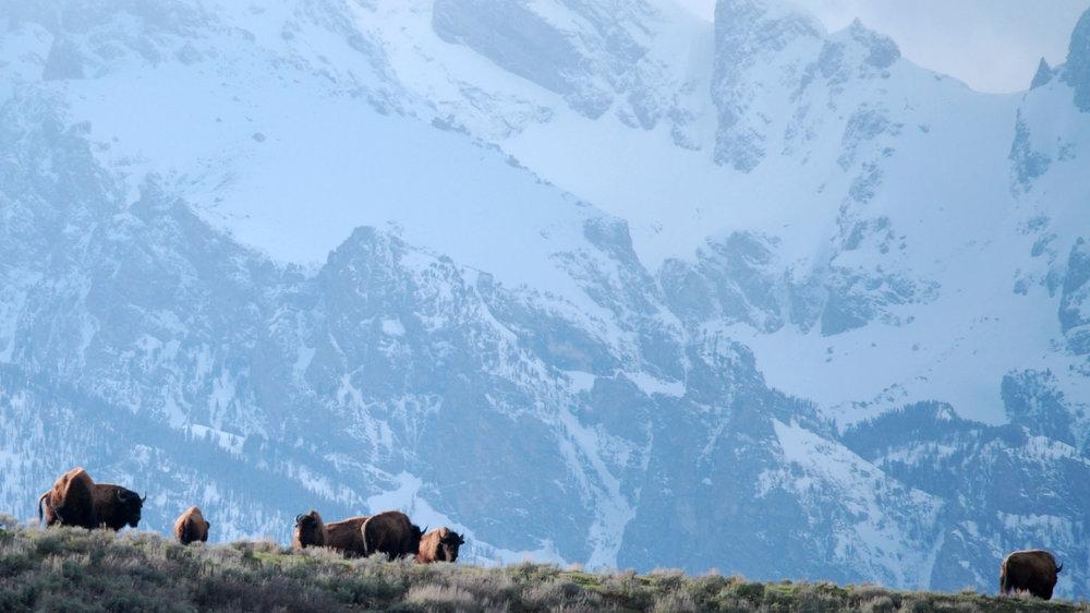 teton bison 16 9.jpg