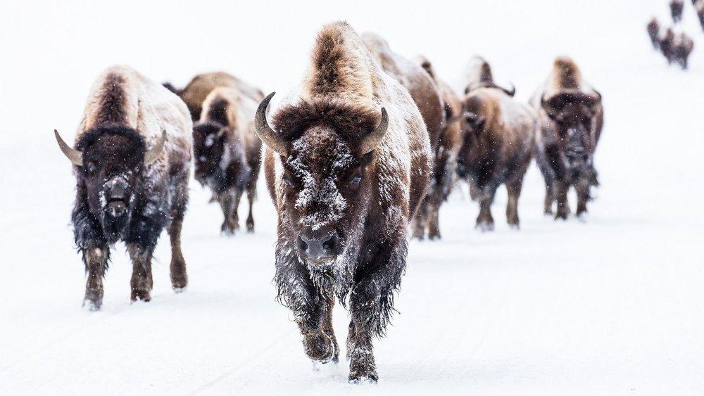 bison-2237654_1920.jpg
