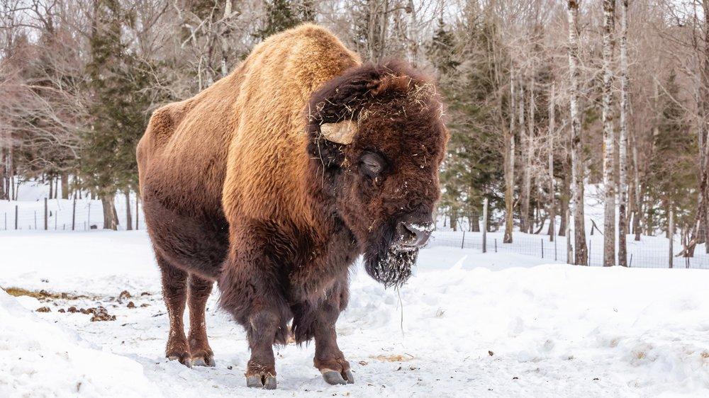 Bison bull.jpg