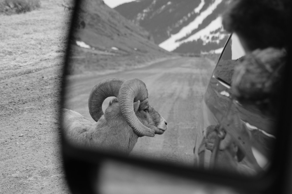 objects in rearview are closer than they appear bighorn ram jackson hole.jpg