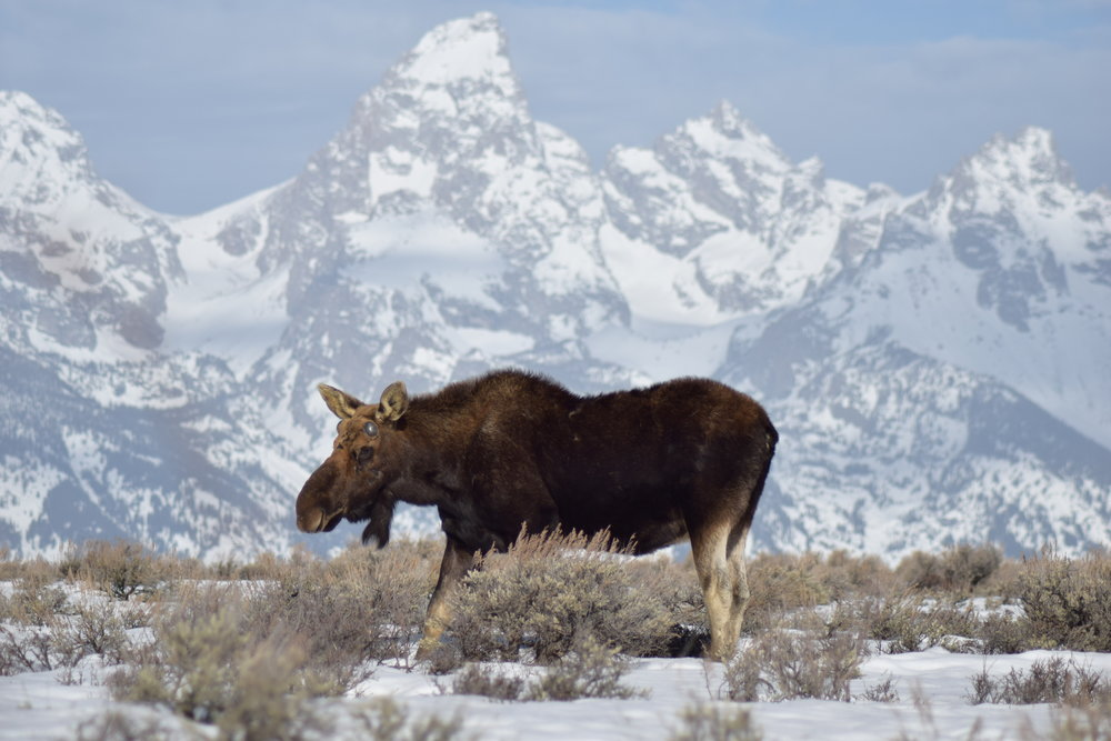 Moose in front of Tetons.jpg