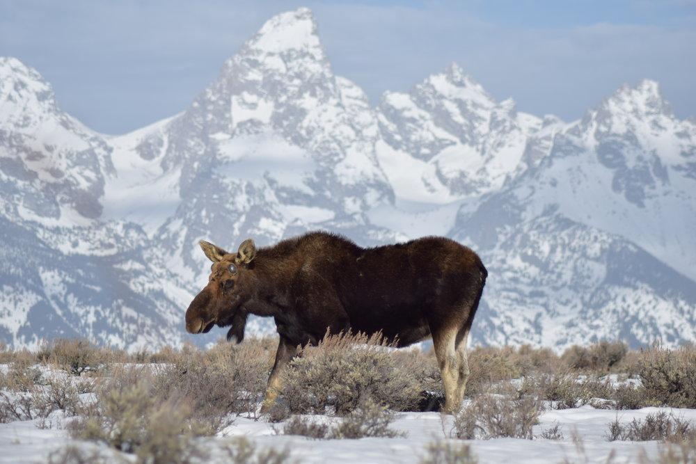 Moose in front of Tetons.jpg
