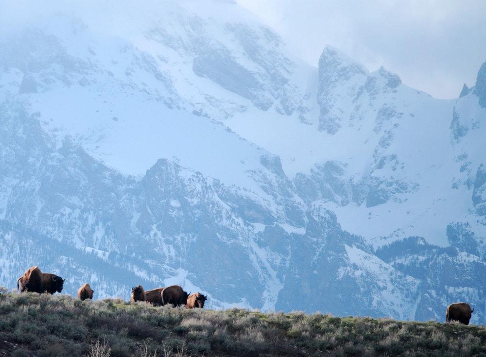 teton bison.jpg