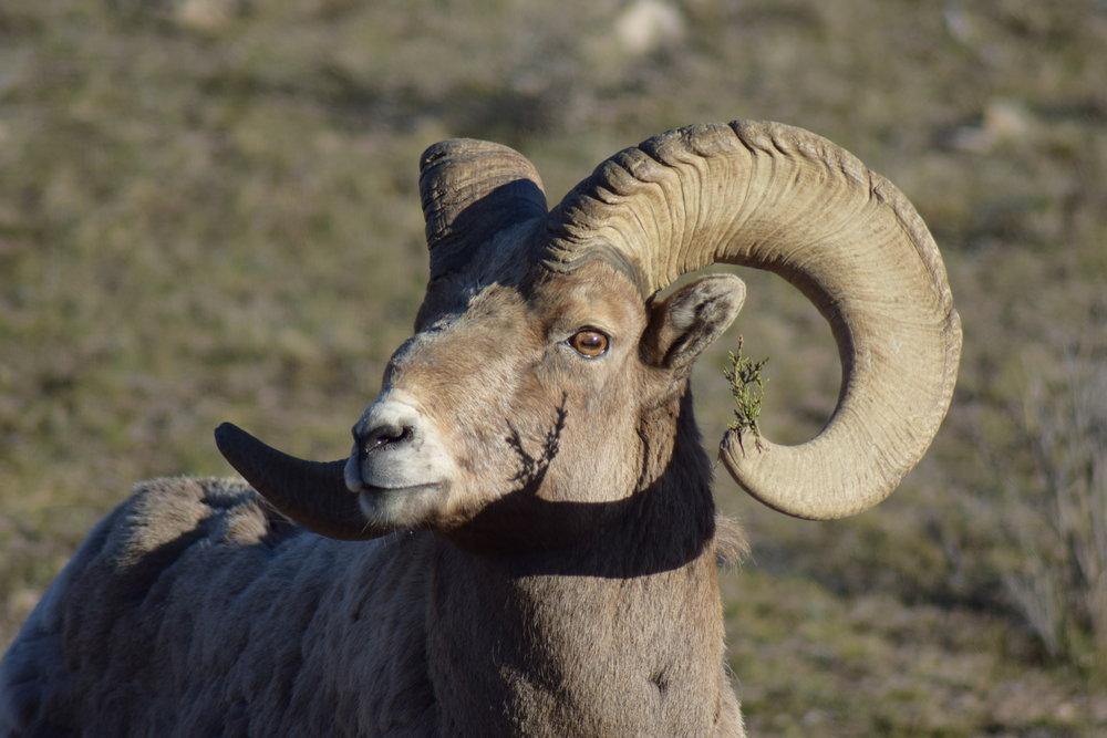 Bighorn sheep ram.jpg